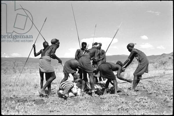 View of a group of men, standing, holding spears, cutting up the carcass of a dead zebra shot by Thesiger to feed them, Amaya, Kenya, 1961 (b/w photo)