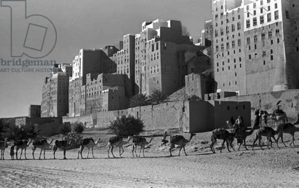View of a camel caravan arriving at the city of Shibam, Hadhramawt Governorate, Yemen, November 9-20, 1947 (b/w photo)