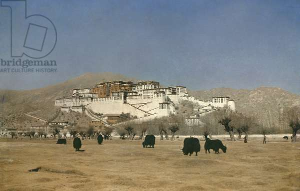 View of the Potala Palace with yaks in the foreground, Lhasa, Tibet, 1936-37 (colour transparency)