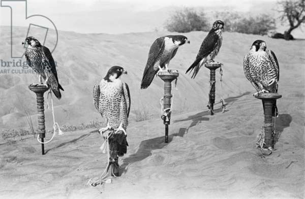 Five peregrine falcons belonging to Sheikh Zayed bin Sultan Al Nahyan's hunting party in the Al Khatam sands near Al Ain, United Arab Emirates, December 20, 1948 – January 27, 1949 (b/w photo)