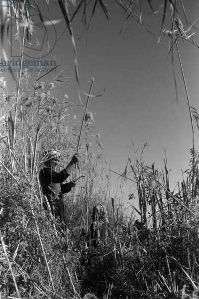 View of a man cutting a pole from qasab, or giant reed (phragmites communis), surrounded by dense vegetation, Haur az Zikri, Iraq, 1958 (b/w photo)