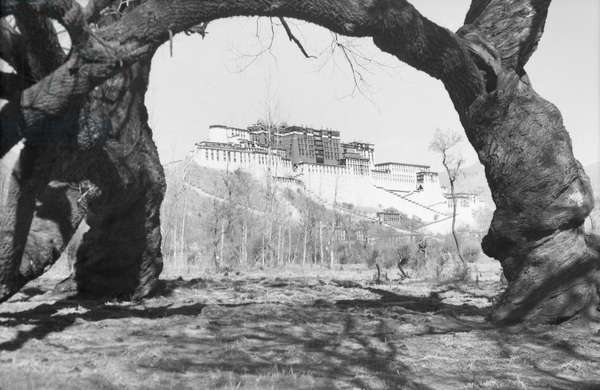View of the Potala Palace through an arc created by a thick branch of a tree, Lhasa, Tibet, 1949-50 (b/w photo)