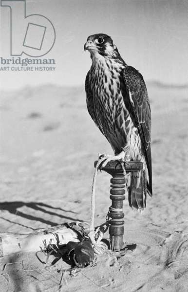 Portrait of a peregrine falcon (shahin), belonging to Sheikh Zayed bin Sultan Al Nahyan's hunting party, resting in the sands near Al Ain, United Arab Emirates, December 1949 (b/w photo)