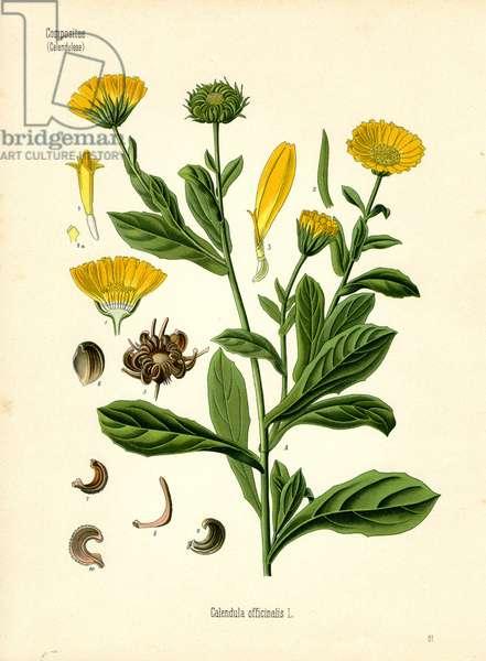 Marigold (colour litho)