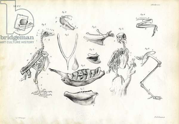 Anatomy, 1863-79 (colour litho)