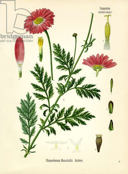 Chrysanthemum (colour litho)