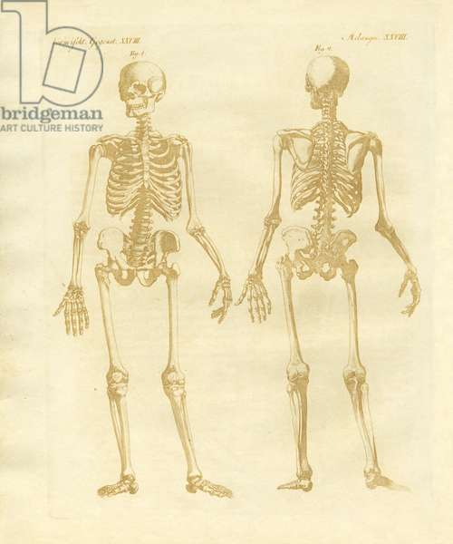 Legs structure from human bodies (coloured engraving)