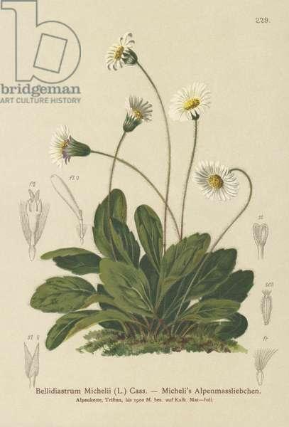 False Aster (Bellidiastrum Michellii) (colour litho)
