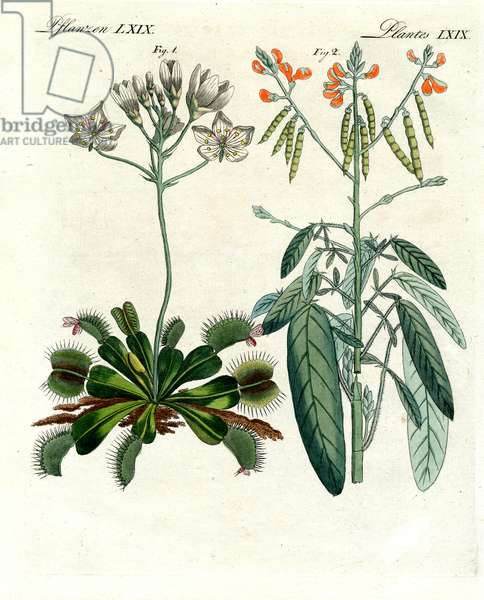 Wonderful plants (coloured engraving)
