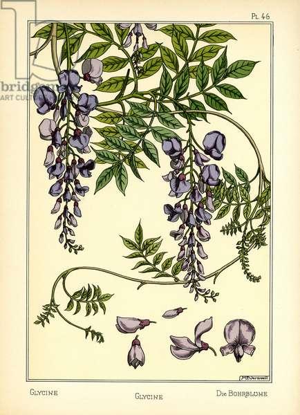 The Glycine (colour litho)