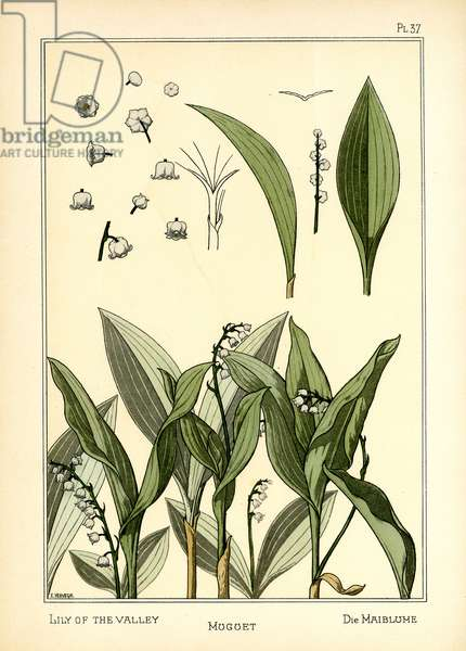 The Lily of the Valley (colour litho)