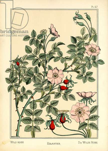 The Wild Rose (colour litho)