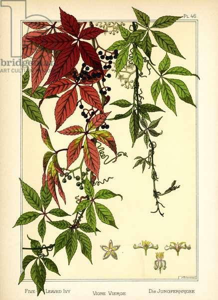 The Five-leaved Ivy (colour litho)