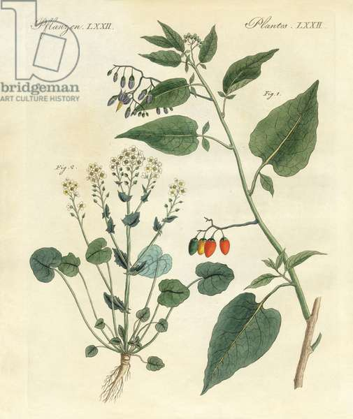 Medical plants (coloured engraving)