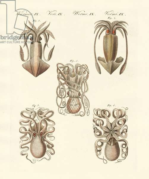 Molluscs or soft worms (coloured engraving)