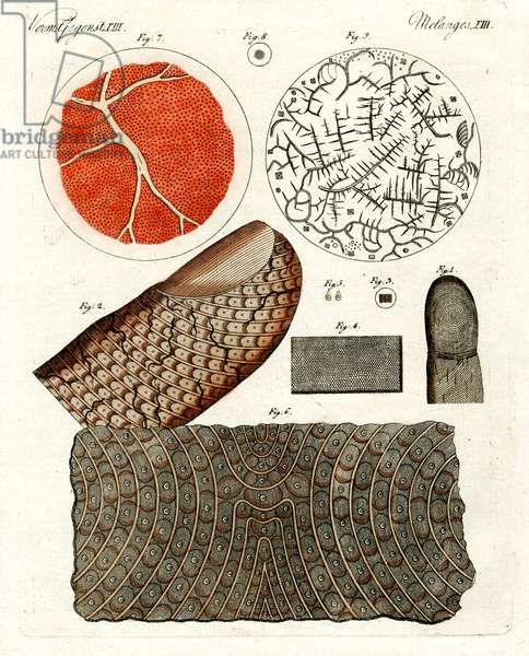 Human skin and blood (coloured engraving)