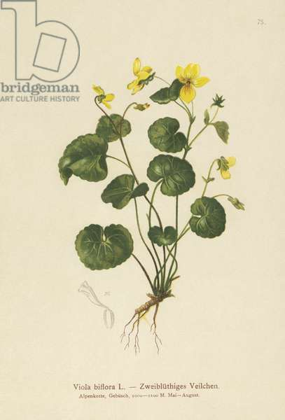 Two-flowered Violet (Viola biflora) (colour litho)