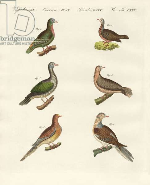 Turtle doves (coloured engraving)