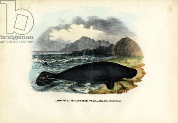 West Indian Manatee, 1863-79 (colour litho)
