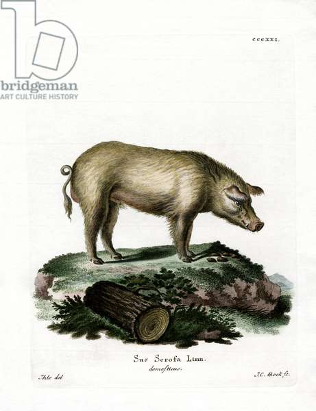 Domestic Pig (coloured engraving)