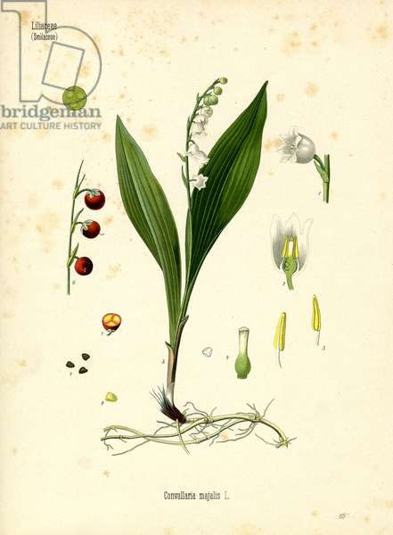 Lily Of The Valley (colour litho)
