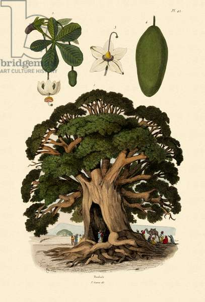 Baobab Tree, 1833-39 (coloured engraving)
