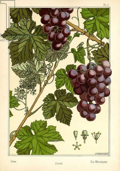 The Vine (colour litho)
