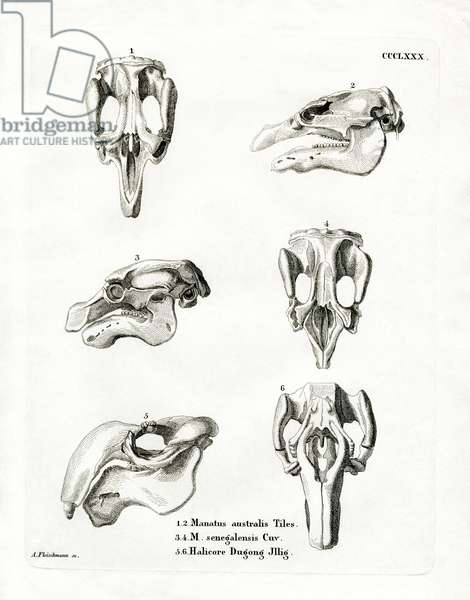 Manatee Skulls (coloured engraving)