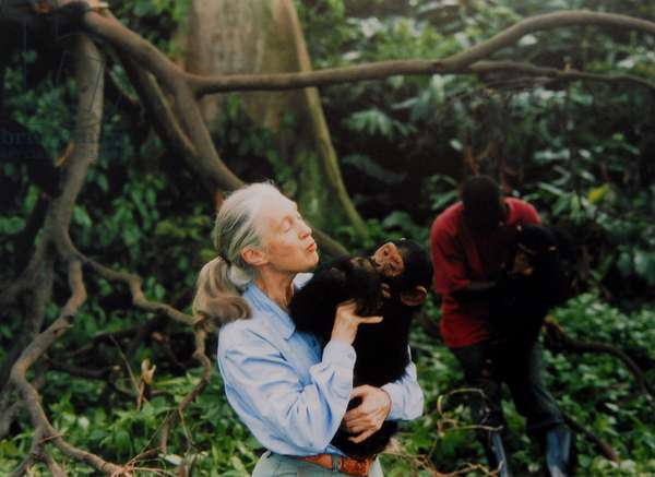 British primatologist, ethologist, anthropologist Jane Goodall, with a chimpanzee in her arms, c. 1995.