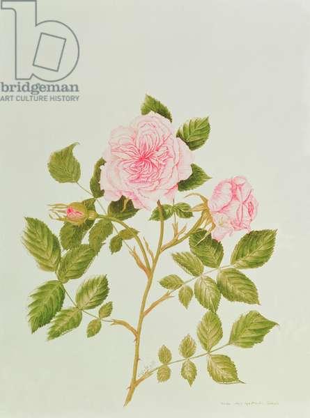 Rosa var: Gertrude Jekyll (w/c)