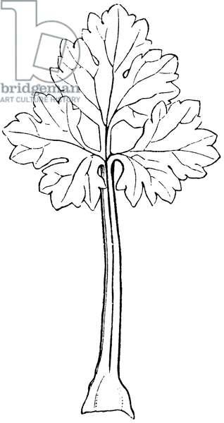 Ranunculus leaf