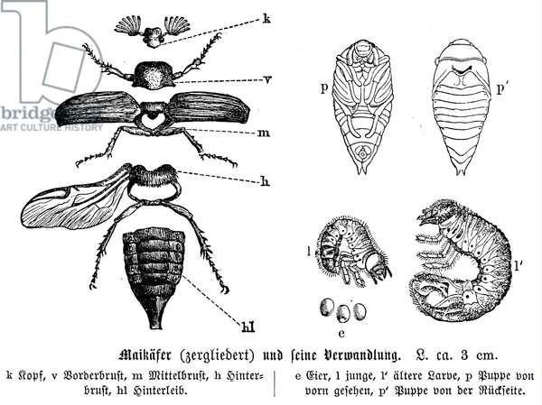 Cockchafer and its development