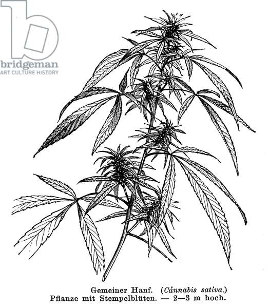 Hemp plant with female flowers
