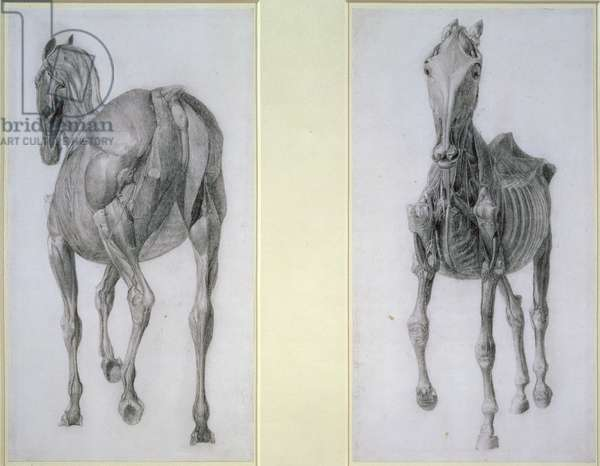 """The Study of Muscles: Frontal and Rear Views, from the 13th Anatomical Table, from the """"Anatomy of the Horse"""", 1766 (pencil on paper)"""