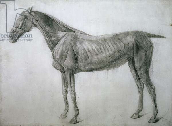 """The Study of Muscles: Ecorche Drawing Seen from the Flank, from the 13th Anatomical Table, from the """"Anatomy of the Horse"""", 1766 (pencil on paper)"""