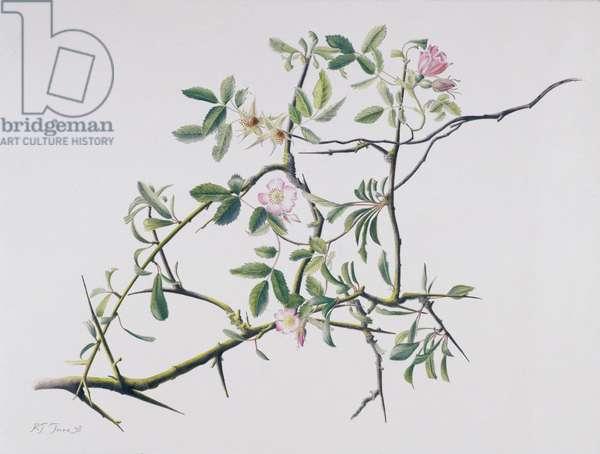 Dog Rose Tangling with Blackthorn, 1998 (w/c over pencil on paper)