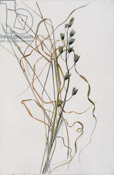 Bluebell Seedhead in Drying Grass, 1996 (w/c over pencil on paper)