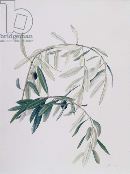 Olive Branches, 1998 (w/c over pencil on paper)