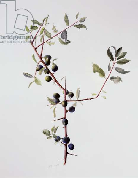 Ripening Sloes, 1996 (w/c over pencil on paper)
