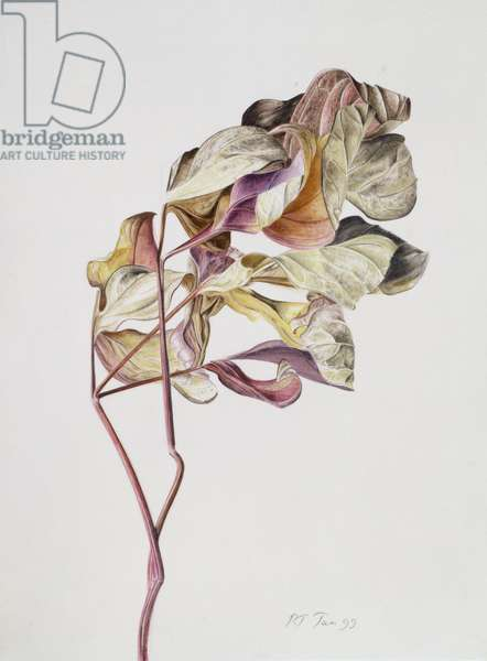 November Peony Leaves, 1999 (vellum)