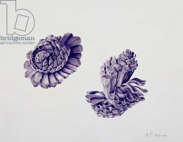Opening Pine Cone, 2000 (w/c over pencil on paper)