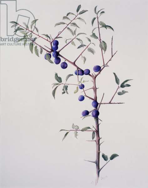 Ripened Sloes, 1996 (w/c over pencil on paper)