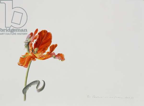 Parrot Tulip, 1999 (w/c over pencil on paper)