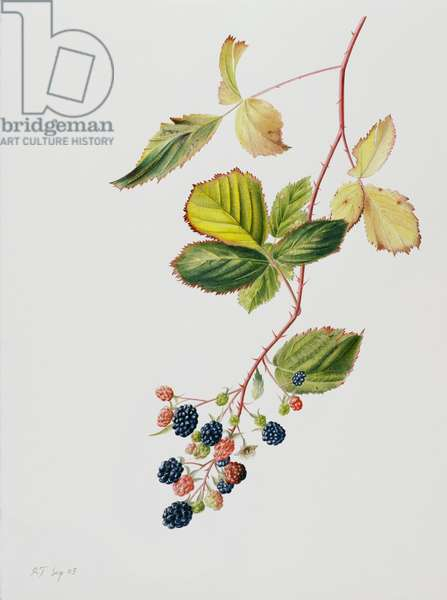Blackberry Branch, 2003 (w/c over pencil on paper)