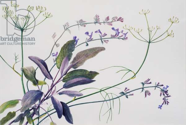 Sage, Fennel, Catmint, 1996 (w/c over pencil on paper)