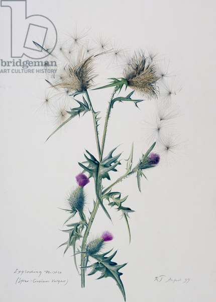 Exploding Thistle, 1999 (w/c over pencil on paper)