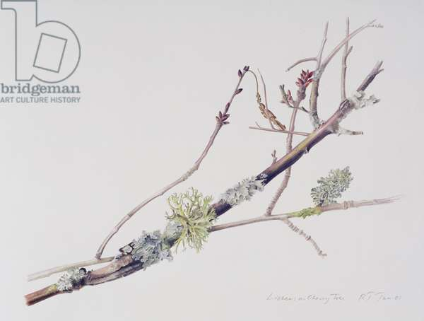 Lichens on Cherry Tree, 2001 (w/c over pencil on paper)