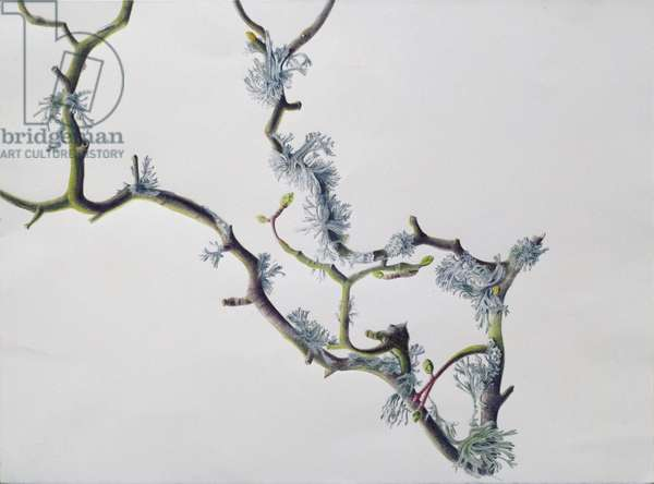 Lichens on Sycamore Branch, 1994 (w/c over pencil on paper)