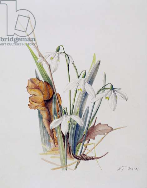 Snowdrops, 2001 (w/c over pencil on paper)