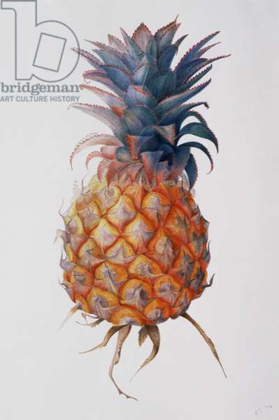 Queenie Pineapple, 1994 (w/c over pencil on paper)